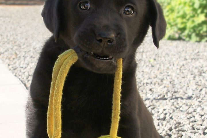 Black labrador puppy with ball in mouth